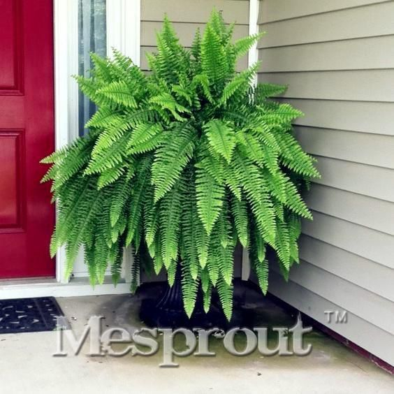 Free Shipping! 100PCS Japanese Rare Creeper Boston fern seeds, vines, climbing plants, Ornamental Bonsai Seeds