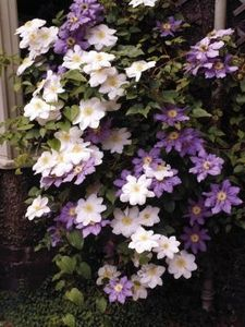 growing clematis in containers.  I like the 2 varieties growing together, pretty.