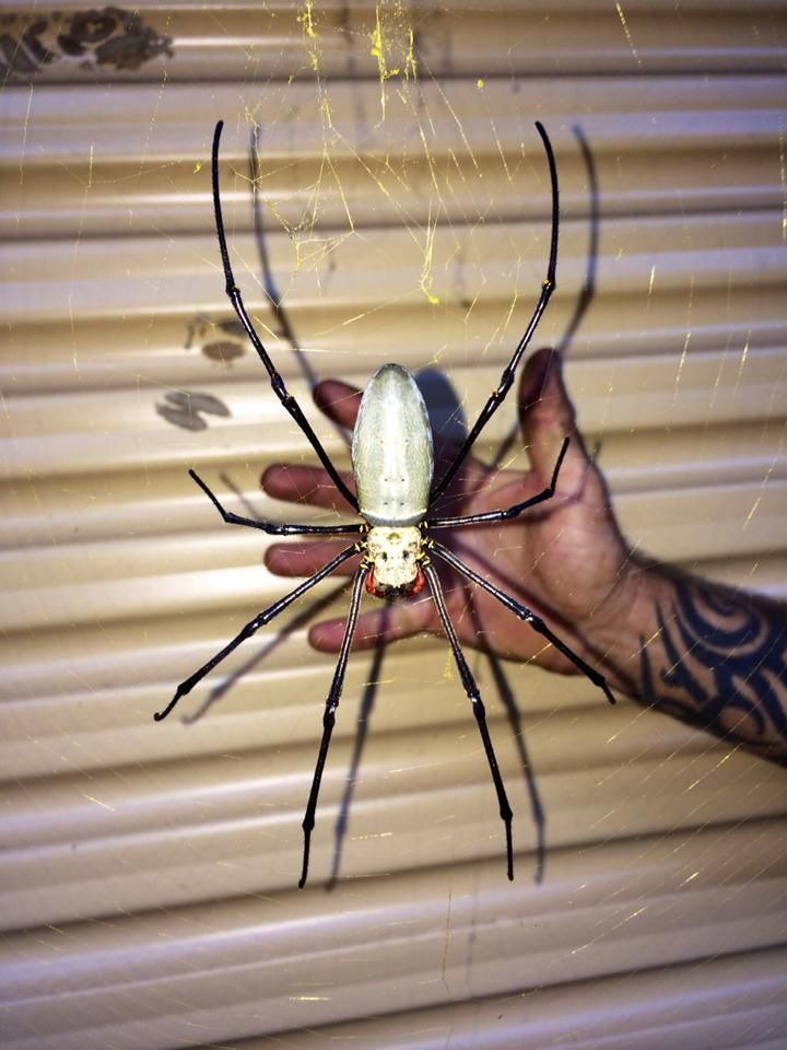 Giant Orb spider in Australia.  Nope. Absolutely. Freakin'. Not.