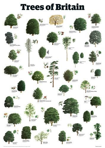 english tree species - Google Search | Tree leaf ...
