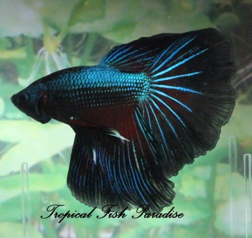 10 images about bettas on pinterest copper auction and for Black betta fish for sale