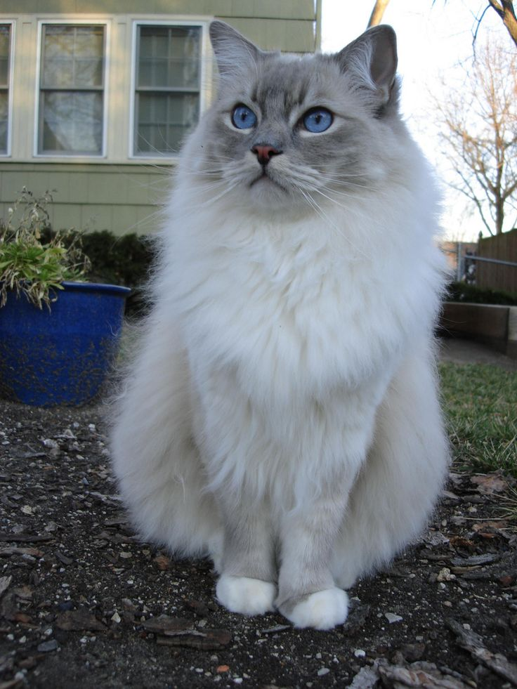 Youtube Cat Eye Tutorial: Best 25+ Ragdoll Cats Ideas On Pinterest