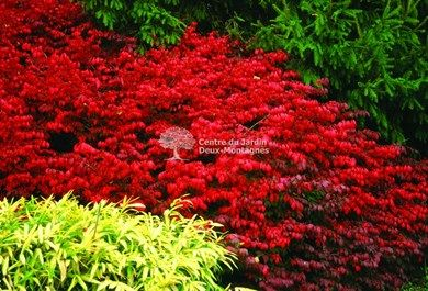"Euonymus alatus ""Fireball"" | Fusain aile / Burning Bush"