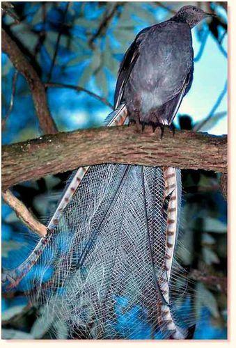 Lyrebirds+:+A+lyrebird+é+uma+das+duas+espécies+de+pássaros+australianos+,+que+formam+o+género,+Menura,+e+a+família+Menuridae.+Eles+são+mais+notáveis+por+sua+excelente+capacidade+de+imitar+sons+naturais+e+artificiais+de+seu+ambiente.+Lyrebirds+têm+penas+as+da+cauda+de+cor+neutra.+Lyrebirds+está+entre+pássaros+nativos+mais+conhecidos+da+Austrália.+ +emelseap