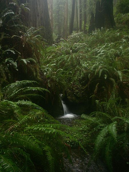 Ferns and Redwoods: As we Restore / or allow Trees to grow. A Canopy effect develops/ This is a KEY process and element .in Water and air filtration... and Local Weather Managment.