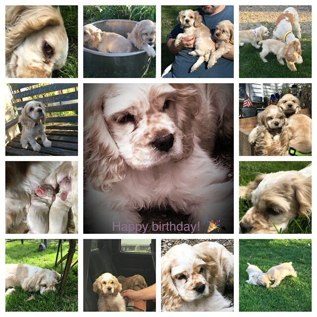 My breeder Michelle sent this wonderful birthday collage for Jessi this morning some pics I haven't seen. So lucky to have this sweety pooch in my life! Birthday pics to come later!  #birthdaygirl #birthdaypup #birthdaydog #cockers #cockersofinstagram #puppiesofinstagram #dogsofinstagram #cockerspaniel