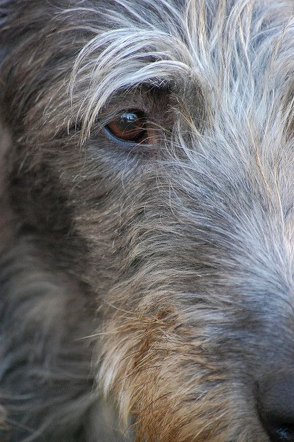 Scottish Deerhounds have existed back to a time before recorded history and were originally bred to hunt the Red Deer by coursing. With the eventual demise of the clan systems in Scotland, these dogs became sporting animals for landowners and the nobility. The Scottish Deerhound is gentle, extremely friendly and eager to please, with a bearing of gentle dignity.
