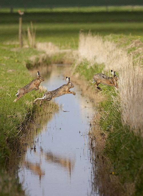 Hares leaping across a brook