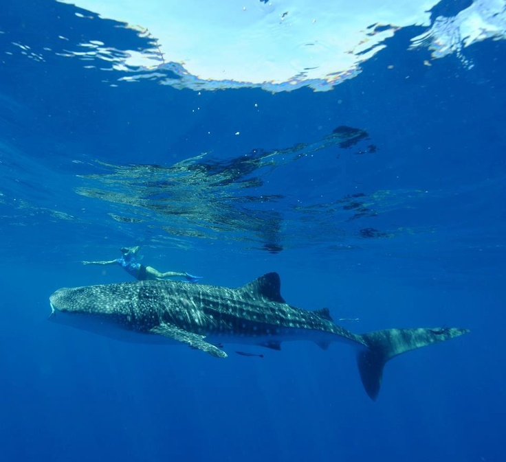 Swimming with the whale sharks, Ningaloo reef