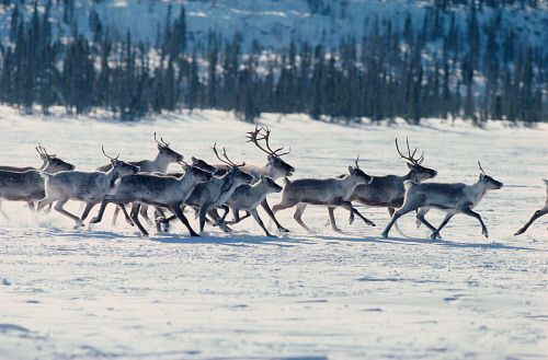 Caribou spring migration in Yellowknife, Northwest Territories, Canada.