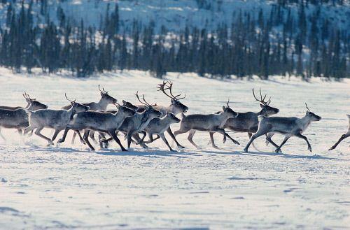 Caribou spring migration in Northwest Territories, Canada.