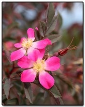 Rosaceae. Rosa rubrifolia syn R. glauca. 'Red-leafed rose'. Single flowers with pale center, borne in smal cluster, purplish bloom to leaves. Spherical red hips.