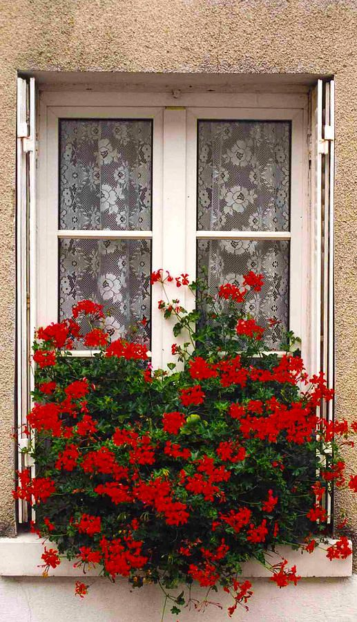Pretty lace curtains in the window with a window box full of vibrant blooms. flowers & gardens
