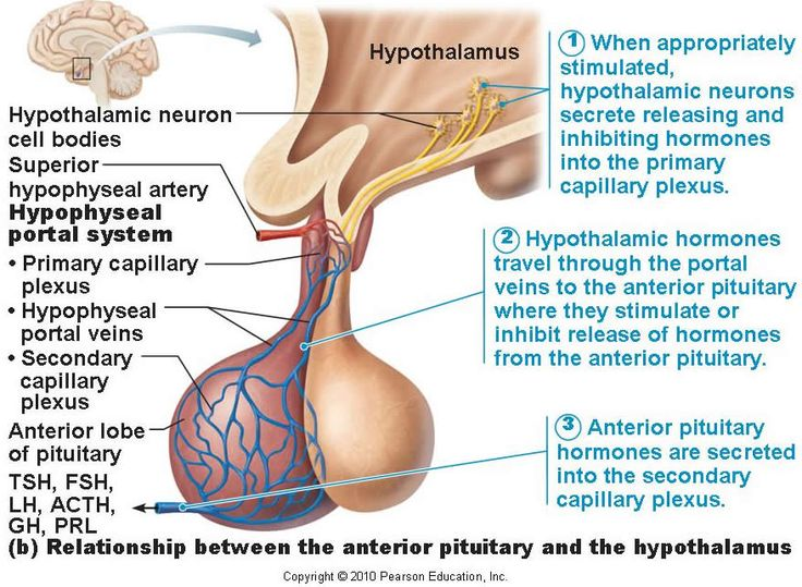 Anterior pituitary gland - Hypothalamic neurons synthesize GHRH, GHIH, TRH, CRH, GnRH & PIH. The Hypophyseal Portal System controls the release of anterior pituitary hormones.