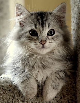 A beautiful, snuggly Siberian cat... You will be my kitty baby someday!
