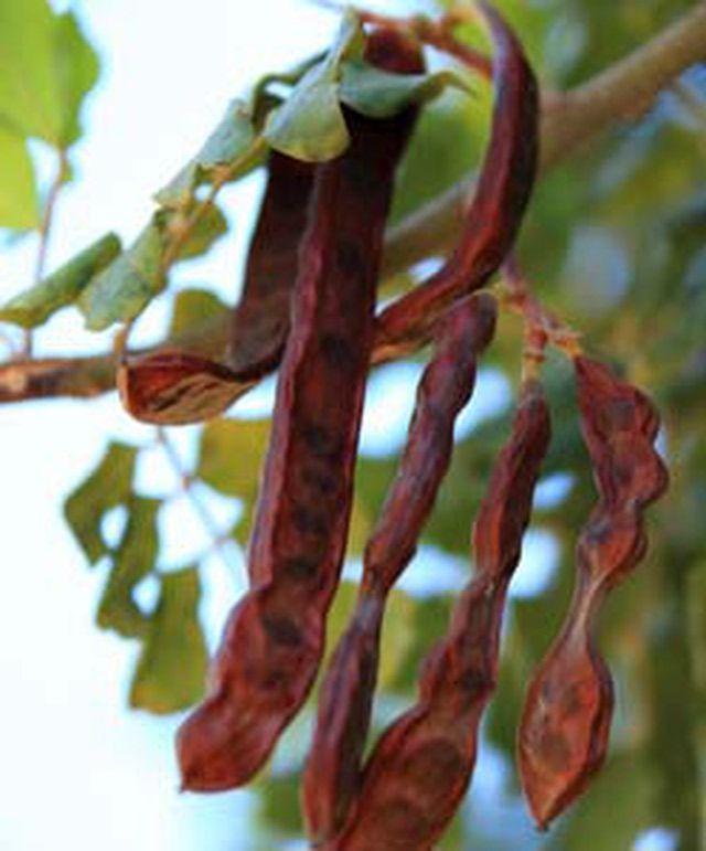 Cabello chocolate oscuro pinterest 39 te cobrizo k l for Arboles de hoja perenne para clima mediterraneo