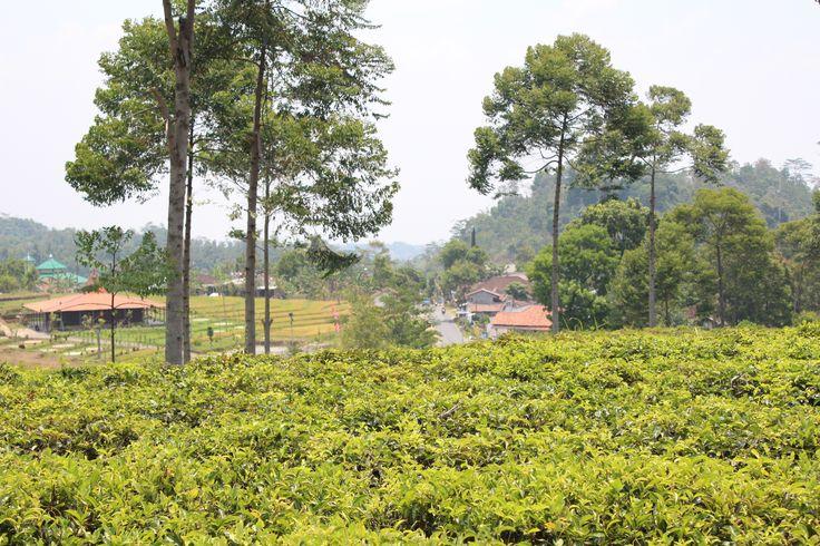 Ndoro Dongker, perkebunan teh kemuning, karang anyar, jawa tengah