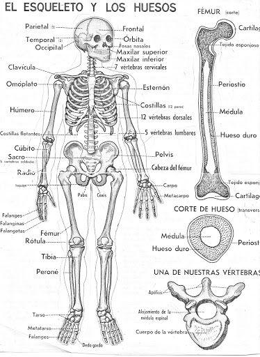 El esqueleto y los huesos para colorear