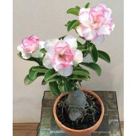 Rosa del Desierto 'Chandra' (Adenium híbrido)