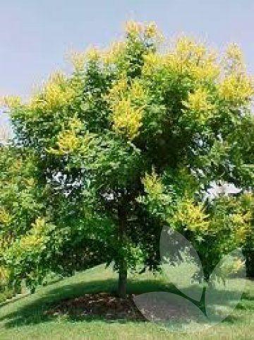 Speciality Trees - Koelreuteria paniculata