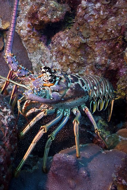 Lobster by todd_s_reimer on Flickr.