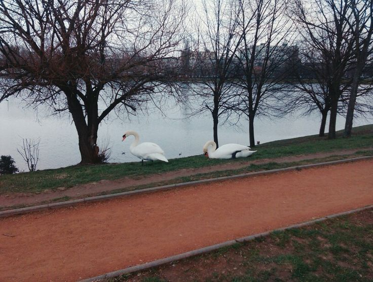 beauty of swans. #nature #slovakia #bratislava