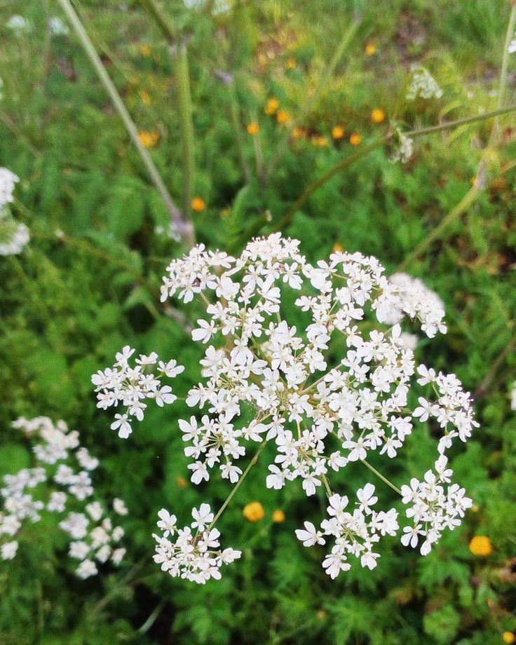 Pretty flowers everywhere!  . . . . . . . . #prettyflowers #flowers #inbloom #naturephotography #meadow #irishsummer #whiteflowers #smallflowers #instalovely #tinyflowers #iloveflowers #summerinireland #green  #natureisbeautiful #Ireland