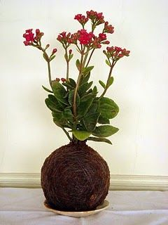 My new fave plant: kalanchoe. Lots of flowers in winter. Succulent like plant.