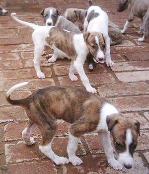 Greyhound puppies!