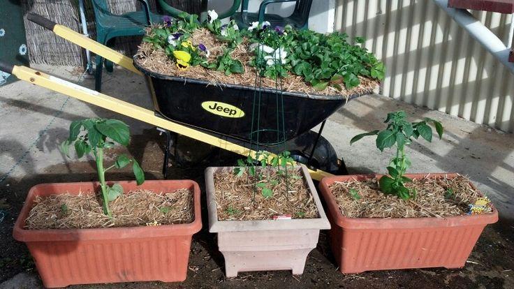 Recycled wheelbarrow garden