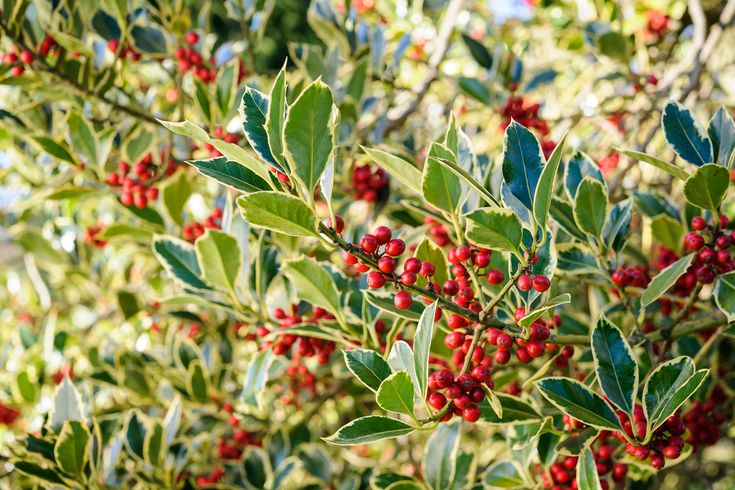 Plant profile of Ilex aquifolium 'Argentea Marginata' on gardenersworld.com