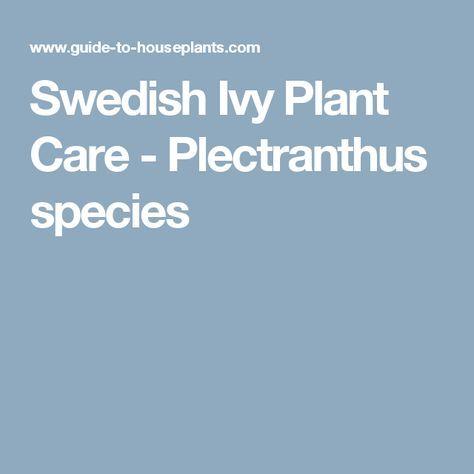 Swedish Ivy Plant Care - Plectranthus species