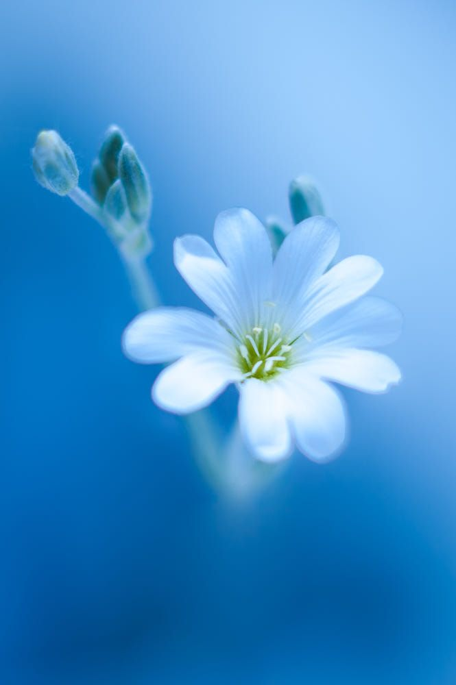 White And Blue By Tero Makela Photo 156720051 500px Beautiful Flowers Wallpapers Nature Photography Flowers Cute Flower Wallpapers Fantastic nice flower wallpaper