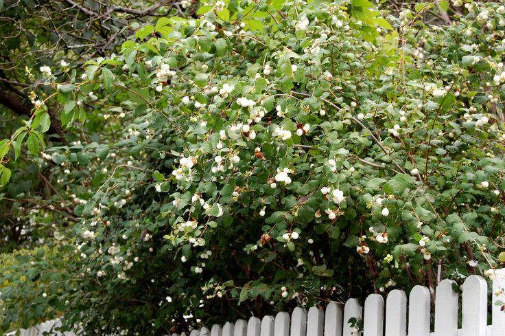 Snøbær, små rosa blomster i sep-okt, hvite bær hele vinteren, blir 1,5 m høy