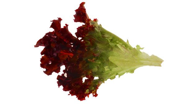 Lollo Rossa Lollo Rossa is a classic Italian looseleaf lettuce which has a crisp, semi-succulent, hardy texture and ruffled tips.  Lollo Rossa's flavour is bold, slightly bitter and nutty. Scientific studies found that Lollo Rossa has 100 times more antioxidants than common lettuce.