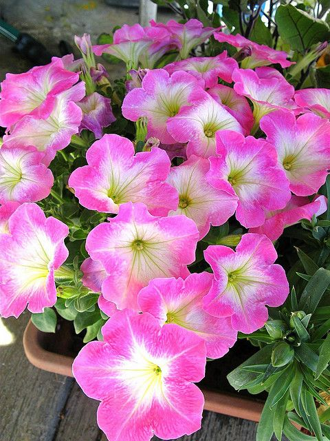 Petunias and geraniums are effective at keeping Japanese beetles at bay. They also assist in pest control for different kinds of berries.