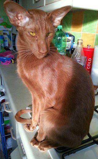 Remy, a Cinnamon Oriental Shorthair.  Love the cinnamon orientals. So pretty