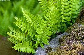 kallioimarre --Polypodium vulgare