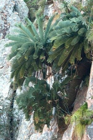 Encephalartos Hirsutus      one of the last in the wild           S A no 14,6