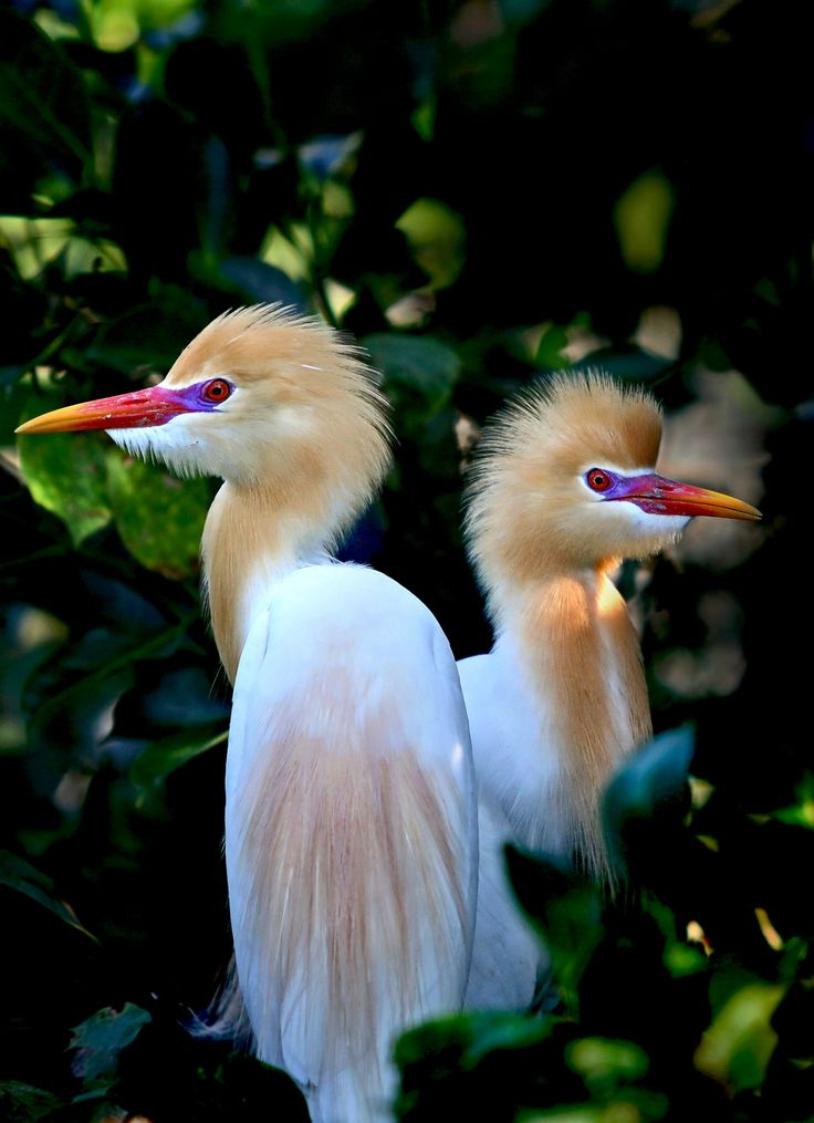 """Yellow-head Herons ~ By Grace Kin ~ Miks' Pics """"Fowl Feathered Friends lV"""" board @ http://www.pinterest.com/msmgish/fowl-feathered-friends-lv/"""