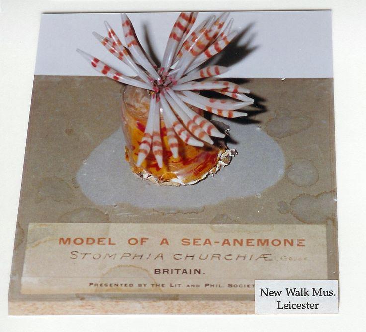 A Blaschka glass model of Stomphia churchiae, from http://www.annlingard.com/writing/novels/seaside-pleasures. Photo by Chris Meechan