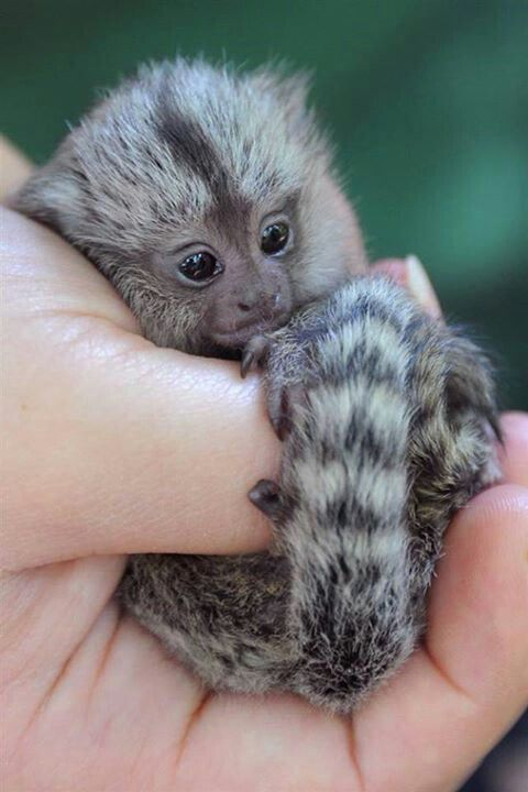 Finger Monkey. They are sooo cute!!! I will own one someday. I don't care if they're thousands of dollars. ;-;