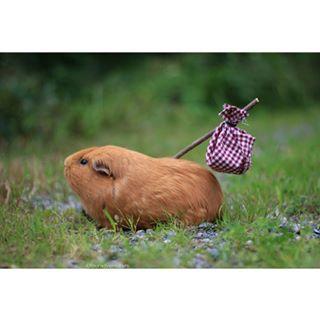 Ce cochon d'Inde, qui est prêt à entamer une vie meilleure.   17 animaux qui en ont vraiment marre de 2016