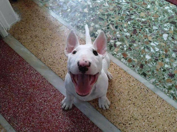 Happy #Bull #terrier #puppy