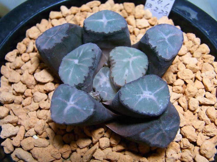 Haworthia maughanii, Takagi breed large window , rare Haworthia Succulent | Cactus y Suculentas | Pinterest | Window, Cacti and Plants