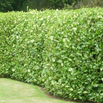 La Griseline, une plante de haie originale  La Griseline forme de belles haies à la couleur vert pomme. On aime son feuillage persistant, crassulescent et brillant aux formes arrondies. La Griseline est très résistante au vent et aux embruns ce qui fait d'elle une variété idéale pour les jardins en bord de mer. Rustique à -8°C, on la réserve pour les zones au climat tempéré, en Bretagne et sur la côte ouest, dans le sud de la France. La Griseline se cultive également très bien en pot.