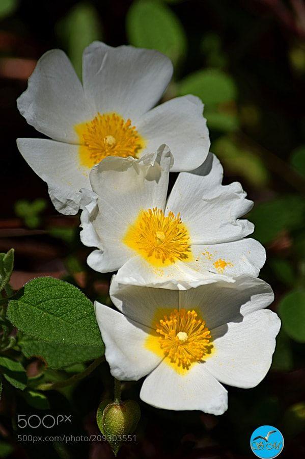 On est bien toutes les 3 ! - Le Ciste à feuilles de sauge ou Ciste femelle (Cistus salviifolius L. ) est un arbrisseau à fleurs blanches avec des feuilles gaufrées plus larges que celles du ciste de Montpellier de la famille des Cistaceae. Il est appelé en corse mucchju albellu. C'est un arbrisseau à port buissonnant assez prostré dont les jeunes rameaux sont couverts de poils étoilés non visqueux. Les feuilles opposées et pétiolées sont ovales ou oblongues réticulées gaufrées tomenteuses…