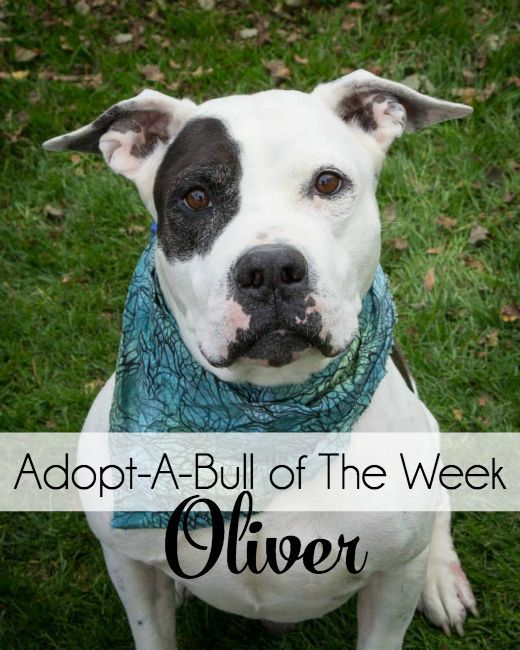 AdoptABull of The Week Oliver Adoption, Cute dogs, Pets