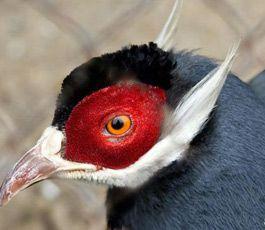 Экзотические птицы - Неправильный глагол  Фазан  ушастый.