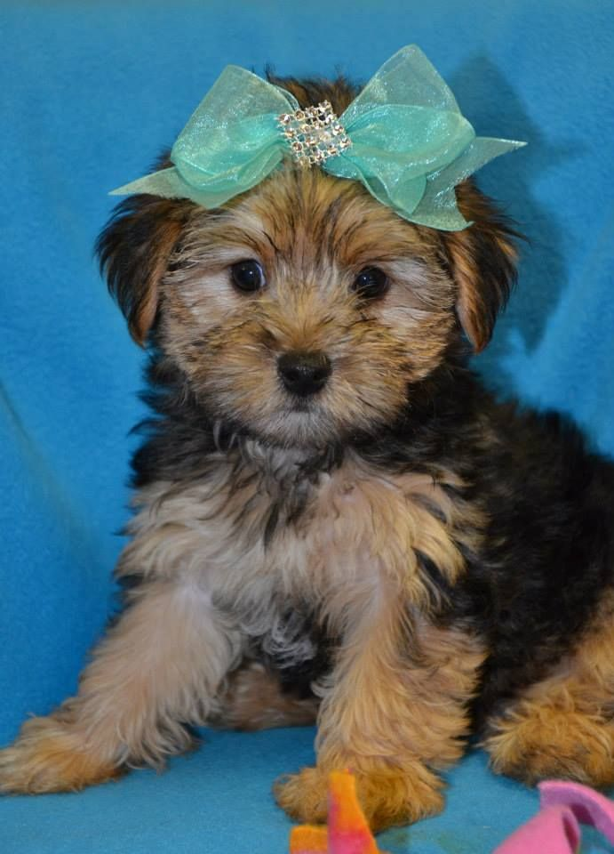 teacup yorkie poos for sale 25 best ideas about yorkie poo puppies on pinterest 6559